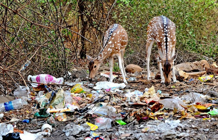 Spotted deer scavenging through a litter of plastic waste in the forest