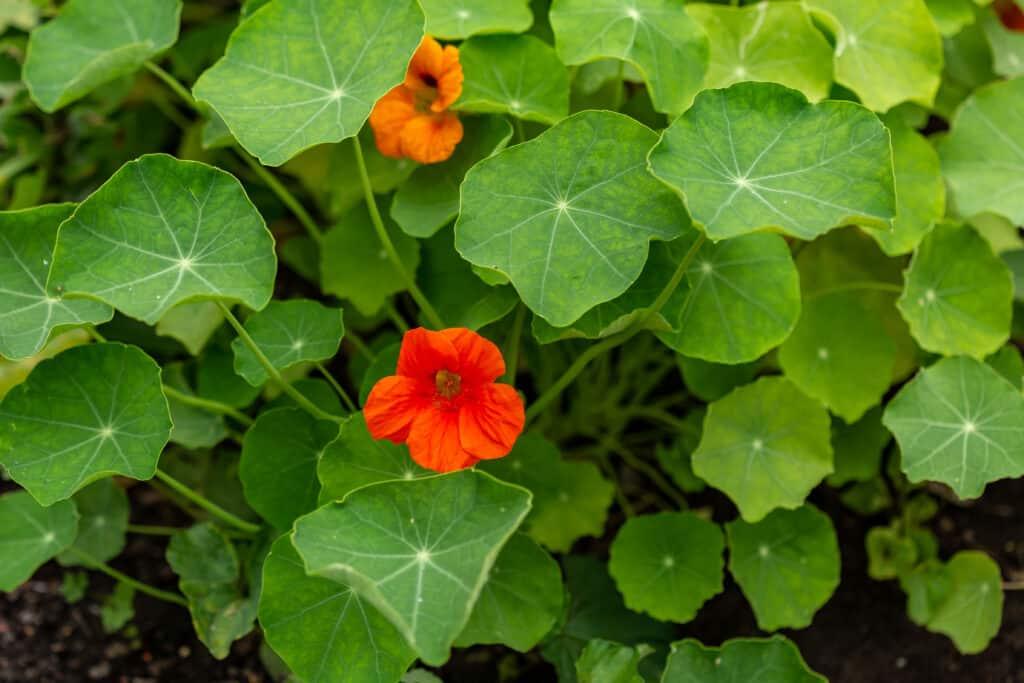 bigstock-Two-Nasturtium-Blossoms-Surrou-308685904-1024x683.jpg